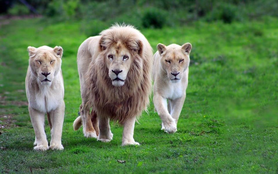 Beautiful White Lion Family Photo