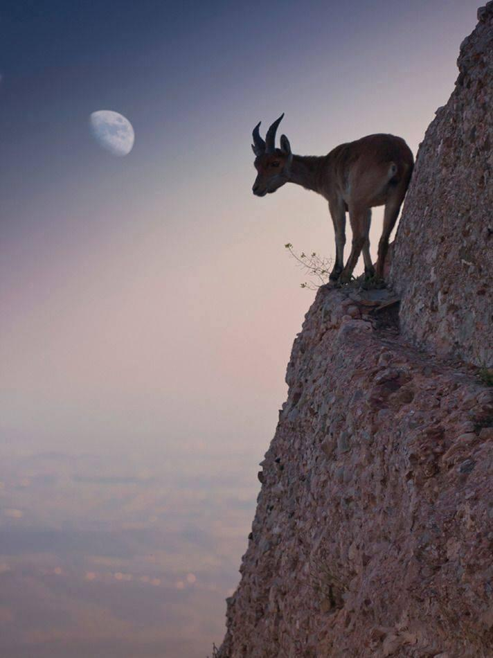 Amazing and Crazy Shots for Mountain goats
