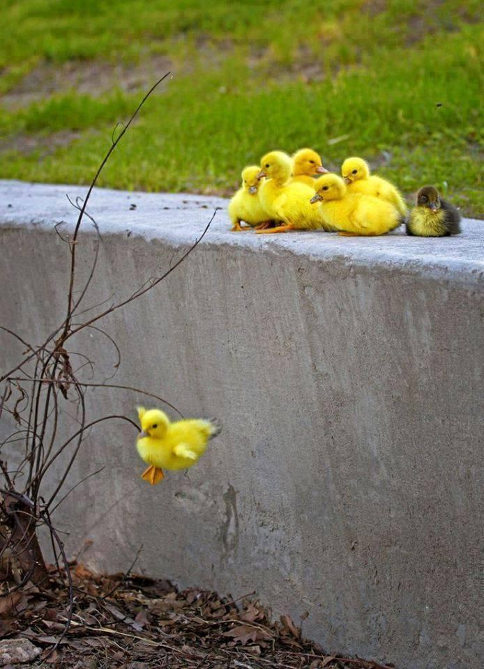 Beautiful Little Ducks