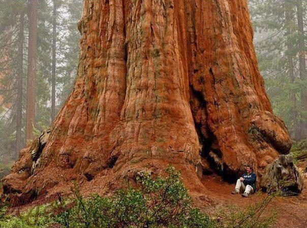 General Sherman Tree- the largest in the world