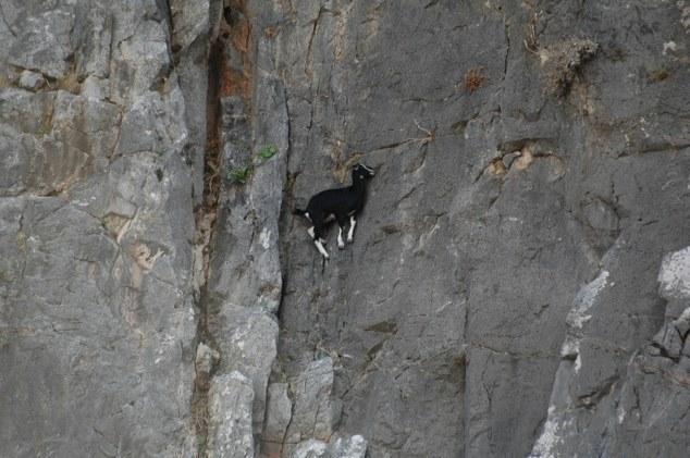 Mountain goats climbing on dangerous cliff