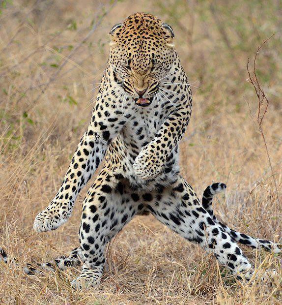 I like to move It move It.. Funny Jaguar Dance