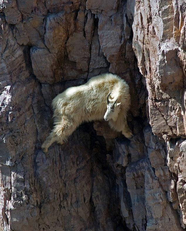 Goat on a dangerous cliff on mountain