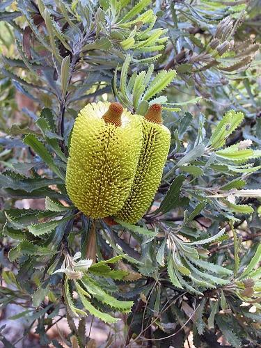 Banksia media.