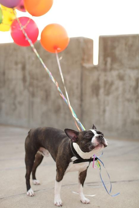 My dog experiencing zen, with balloons