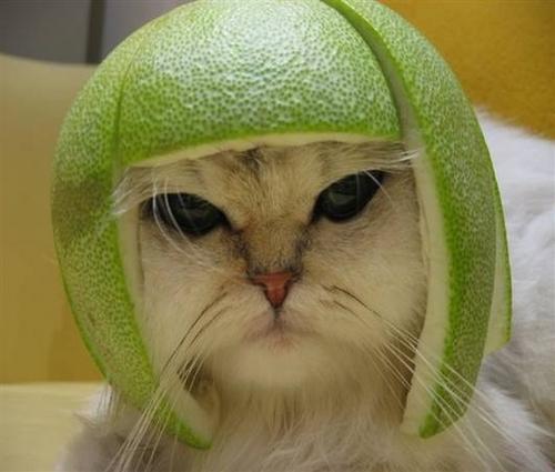 Funny Cat Green Avacado