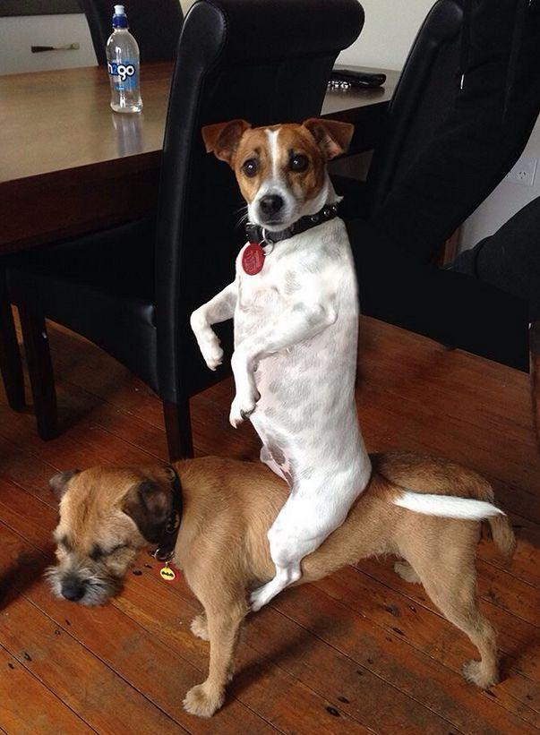 Dog Riding On Top Of Another Dog -- hilarious jokes funny pictures wal