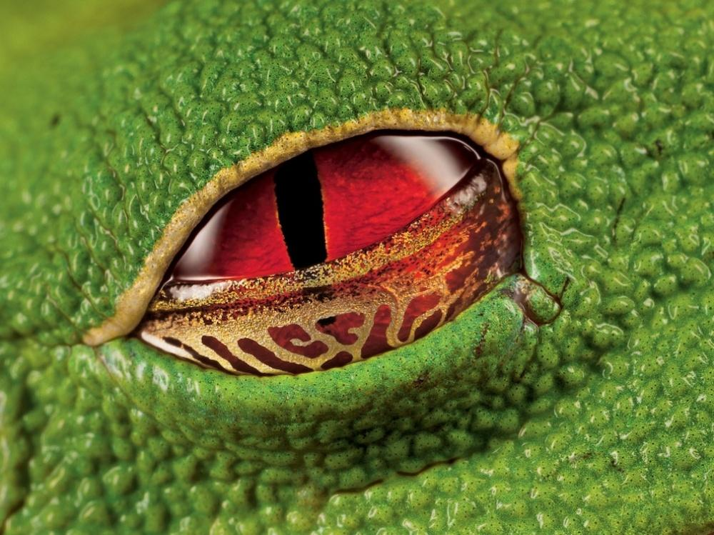 scarlet eyes of a warty tree frog, Costa Rica