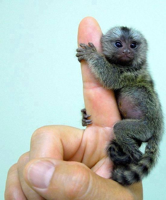 Baby Pygmy Marmoset Born at South Korea's Everland Zoo