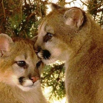 Adorable Cougar Cubs