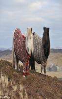 Shetland ponies wearing Fair Isle jumpers on Fair Isle, Shetland