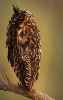 National Geographic's photo of the day - a relaxing short eared owl