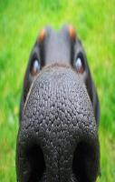 big dog nose