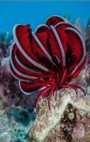 Red Crinoid... an amazing animal!
