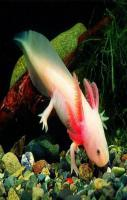Axolotl, Mexican Walking Fish Pictures
