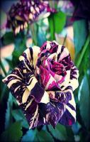 The Black Dragon Rose Photo