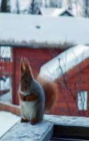 Took this picture of a fat squirrel when I went skiing last winter