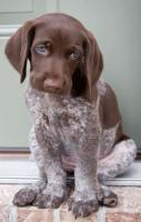 German Shorthaired Pointer - Puppies are soo adorable with their littl