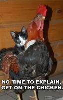 Chicken and Cat Friendship Pictures