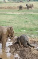 Baby elephants throw themselves into the mud when they get upset. As d
