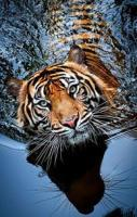 Tigar Orginal Photography