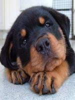 The Cutest Rottweiler Puppies Ever