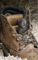 house mouse in boot