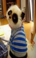 Panda Cat - Galapagos dreamer.