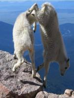 Goats fighting on cliff on mountains