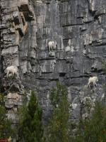 Goats climbing on mountains