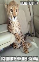 This cheetah is not amused.