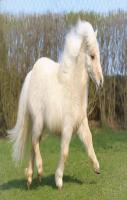 Mini Shetland Pony Mare