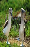 BLUE-FOOTED BOOBIES, THAT IS... =))