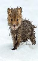 A cute wet fox.