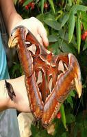 Attacus atlas - the largest moth in the world
