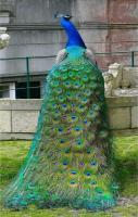 Peacock it up