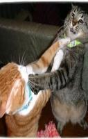 Cats Fights