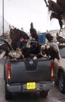 Eagles are like Pigeons in Alaska