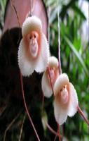 The rare and mysterious grinning Monkey Orchids