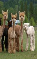 Sheared Alpacas