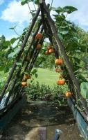 Hanging pumpkins to grow outside the fence
