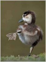 Funny Dancing Duck