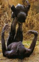 What?! Bonobo monkeys - playing Airplane?!