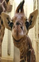 love giraffes