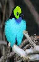 Paradise Tanager Photo lives in eastern Colombia, Bolivia