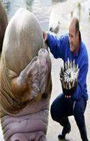 A Walrus\\\'s reaction after being presented with a Fish Cake for his birthday