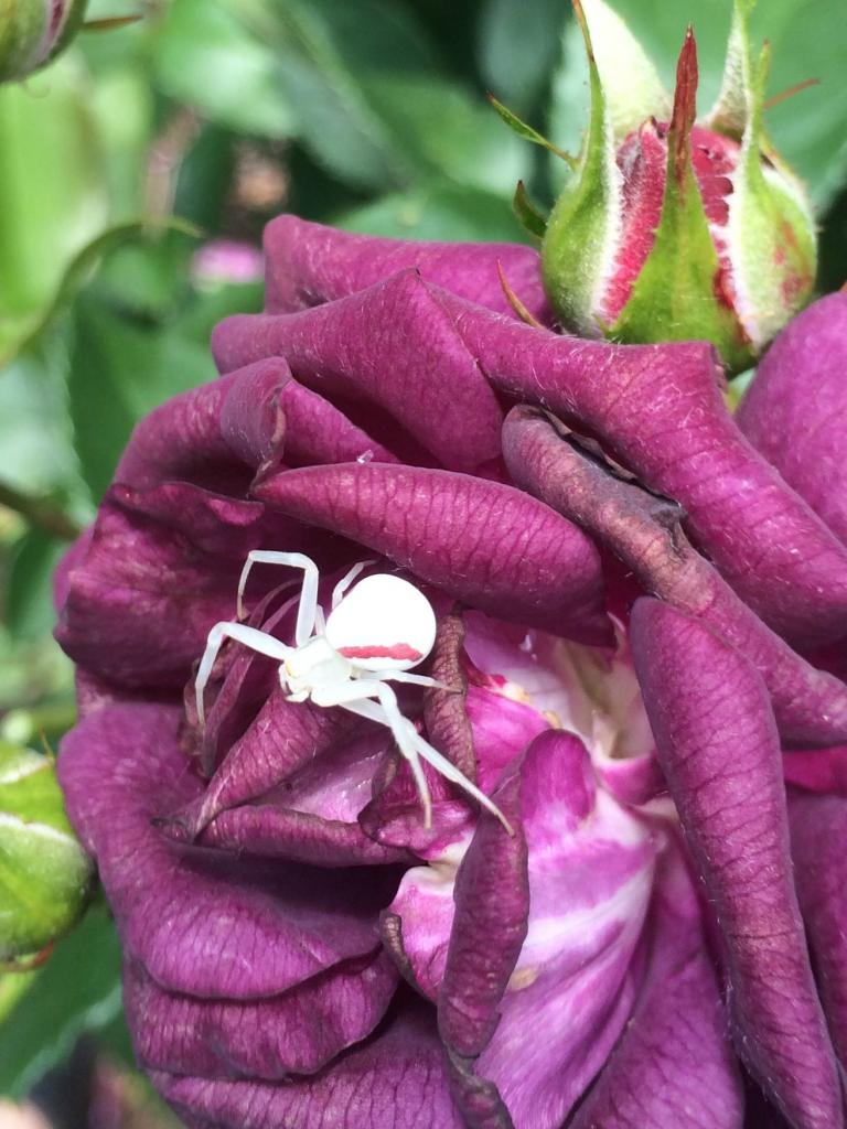 An albino spider that lives in my garden... never seen one this color