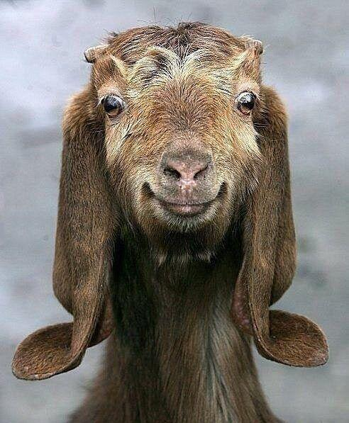 Photogenic goat…