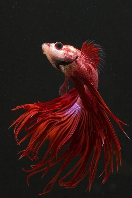 Crown Tail - photo by Andrew Williams. I think this is my next betta c