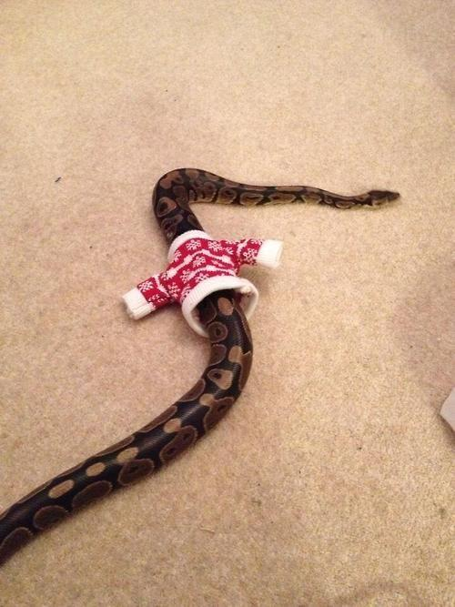 Dressing your snake for Christmas you're not doing it right!